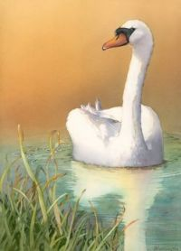 Reflecting (Mute Swan)