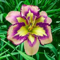Spacecoast Behavior Pattern Reblooming Daylily