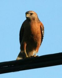 Red-shouldered Hawk, Polo Fields, San Diego, California