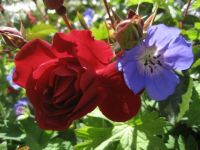 'Red Ribbons' rose and 'Buxton's Blue' Hardy Geranium