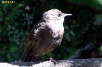 Immature Catbird (probably)