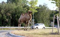 Camel on ar oundabout