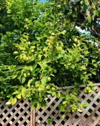 """Lemon tree, very pretty..."
