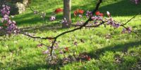 Redbud on a Spring Day