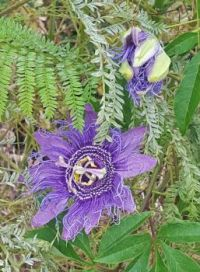 Passion Flower on Brush