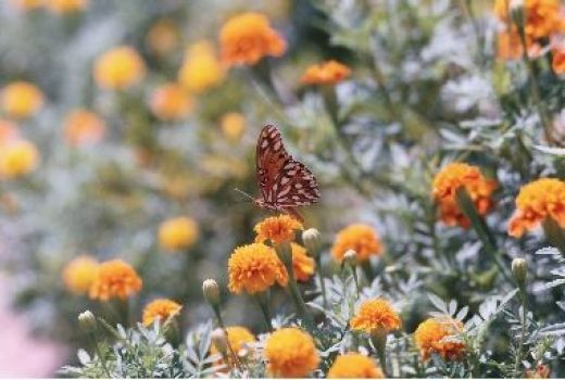 Butterfly and Marigolds