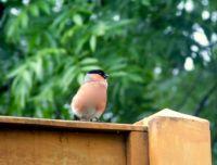 Male Bullfinch.