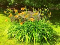 Day Lilies and the rock