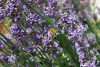 bee on lavender / včela na levanduli