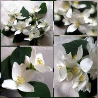 Collage of Orange Blossom