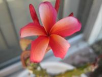 Another of my plumeria