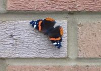 Garden - Insects - British Butterfly - Red Admiral