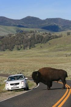 Making it clear who has right of way. Bison in Yellowstone National Park.