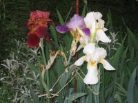 iris --  so many colors