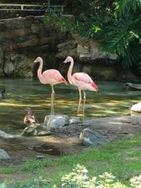 Two Flamingoes and a Duck