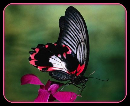 Pinknblack Butterfly perfection -  Papilio Rumanzovia Butterfly