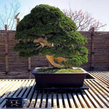 250 year old Bonsai tree