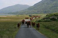 Traffic Jam on Mull