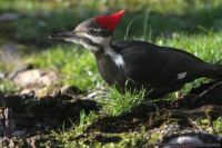 Reticulated Woodpecker Dining in the Back Yard