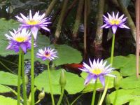 Water Lily-Chicago