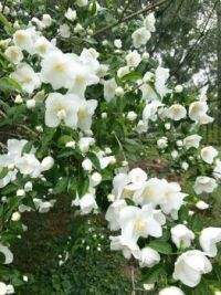 Mock Orange Blossoms-2346x3128