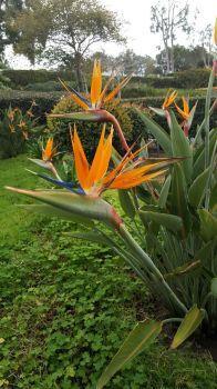 Bird Of Paradise, San Diego, CA