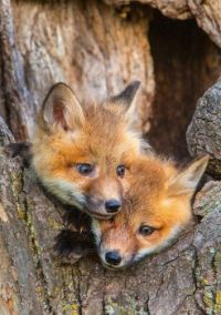 Foxy Foxes