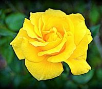 """Yellow Rose of Texas"""