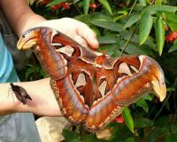 Atlas moth. WOW!