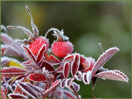 THEME: Weather: Frost on rose hips
