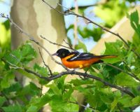 BALTIMORE ORIOLE, A FIERCE SENTRY AT NEST