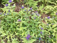 gentians where they never were before