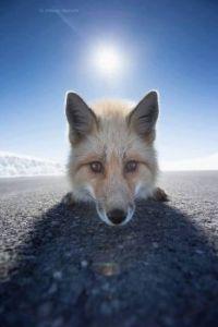 Alaska Highway Fox.