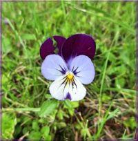 Violet, violka