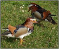 Kachny Mandarin...  Ducks Mandarin ...