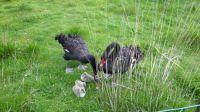 New swan family