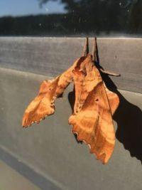 Moth in New York