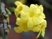 Winter Jasmine - 4th December 2003