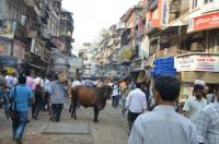 Mumbai - India - Cows everywhere