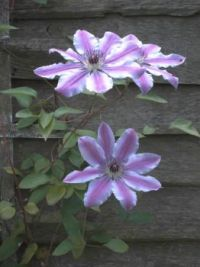 clematis times three