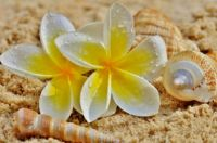 Plumeria And Seashells On The Sand