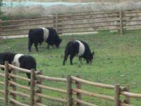 Striped cows!