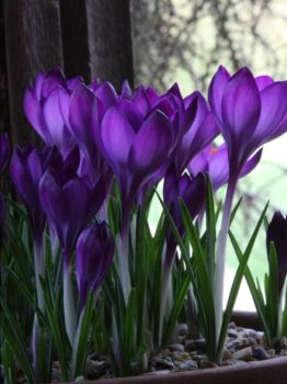 Beautiful Crocus from Slice of Life