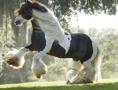 Beautiful Gypsy Horse