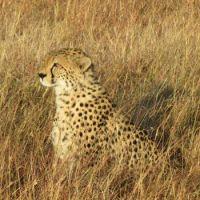 cheetah profile smaller
