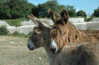 Les ânes de Ré