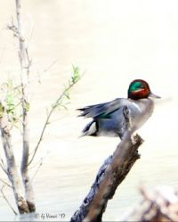 Green winged teal at Patagonia Lake State Park