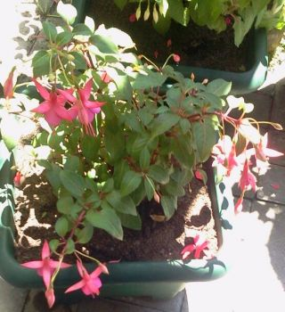 Fuschias pink beauties.