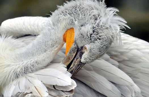 Great White Pelican grooming.
