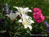 MORNING WALKS - White Lilies - 2
